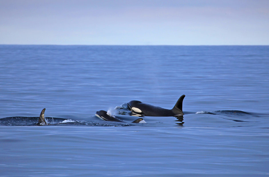 Orca and Calf 2